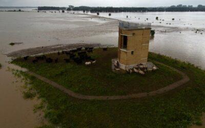 Alle paarden en runderen in de natuurgebieden van Limburgs Landschap vzw rond de Maas nog ok