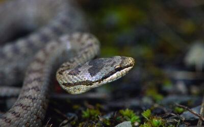 Project voor de gladde slang op de Vossenberg